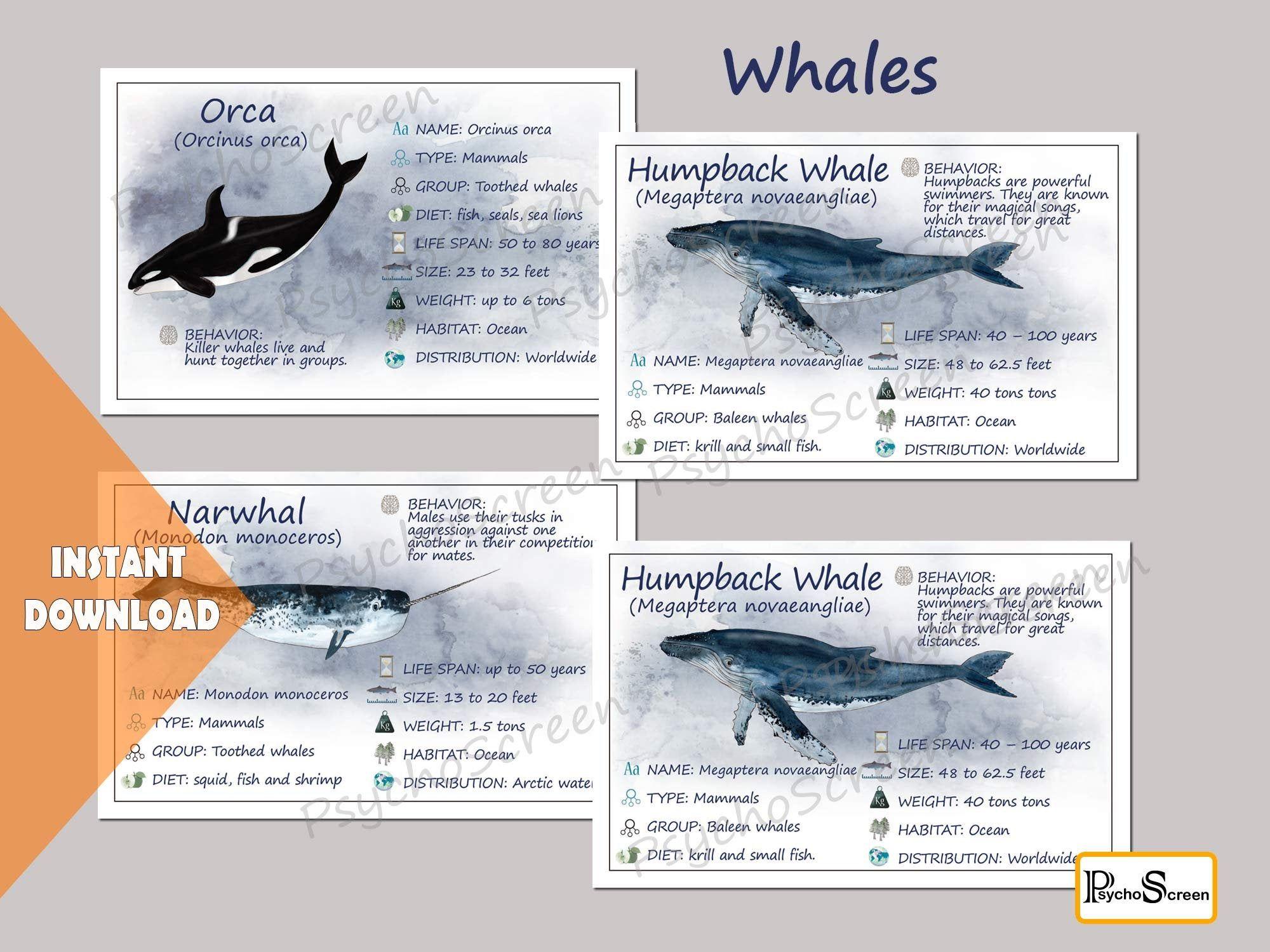 Whale Unit Study Mega Printable Whales Bundle Anatomy