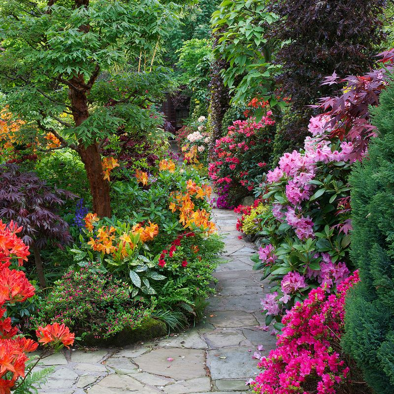 Giardinaggio E Fiori.Path Through The Azalea And Rhododendron Flowers Giardino