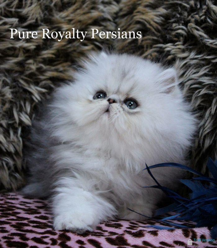 Shade Silver Persian Kittens Persian Kittens Persian Cats For