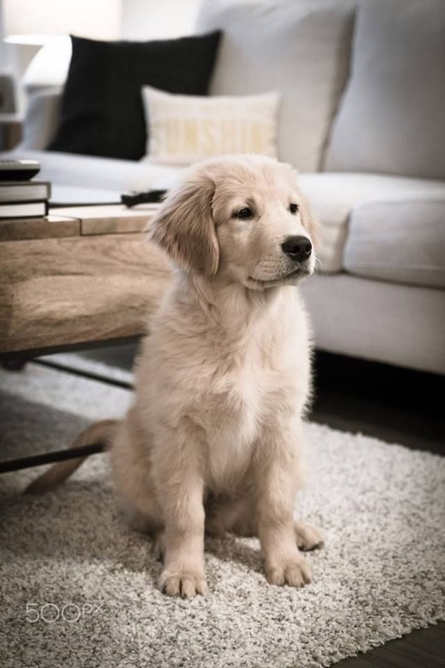 Pin by Alyssa Lansing on One day ️ Retriever puppy, Dogs