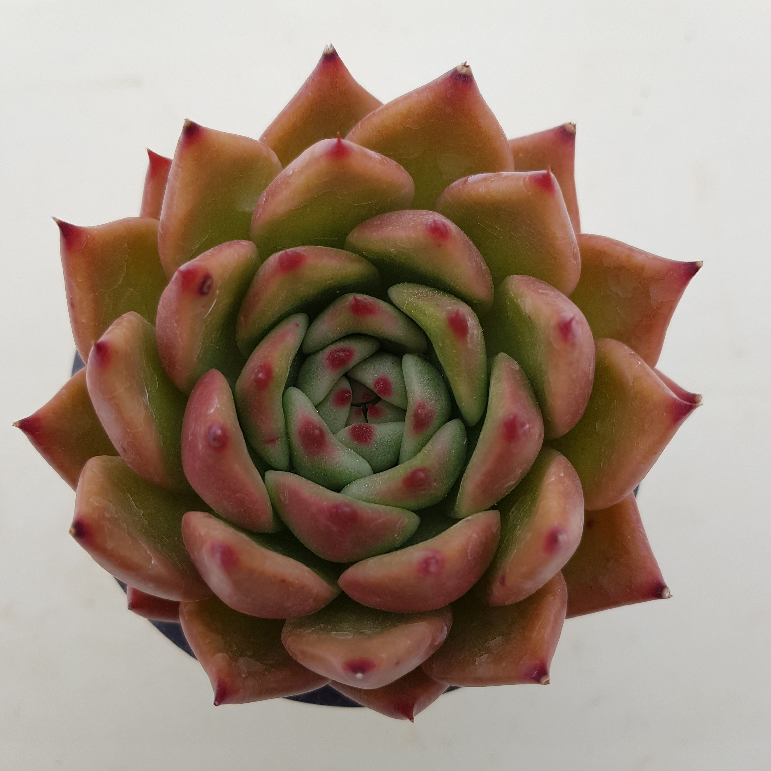 Echeveria Rose Garnet Echeveria Rose Garnet Succulents