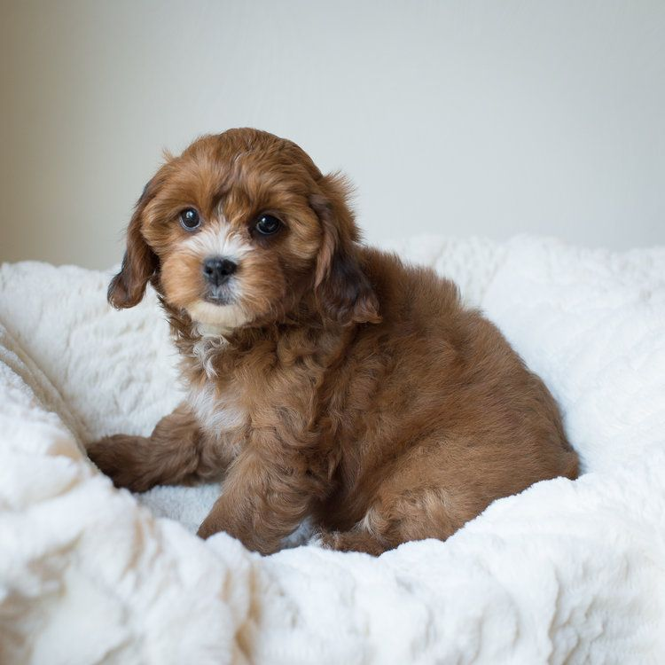 Available Puppies Bluebell Pup Cavapoochon Puppies For Sale