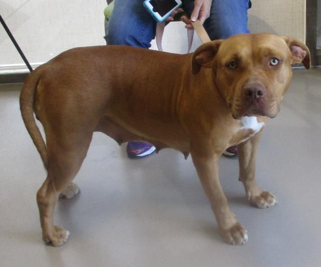 Staffordshire Bull Terrier dog for Adoption in Johnson