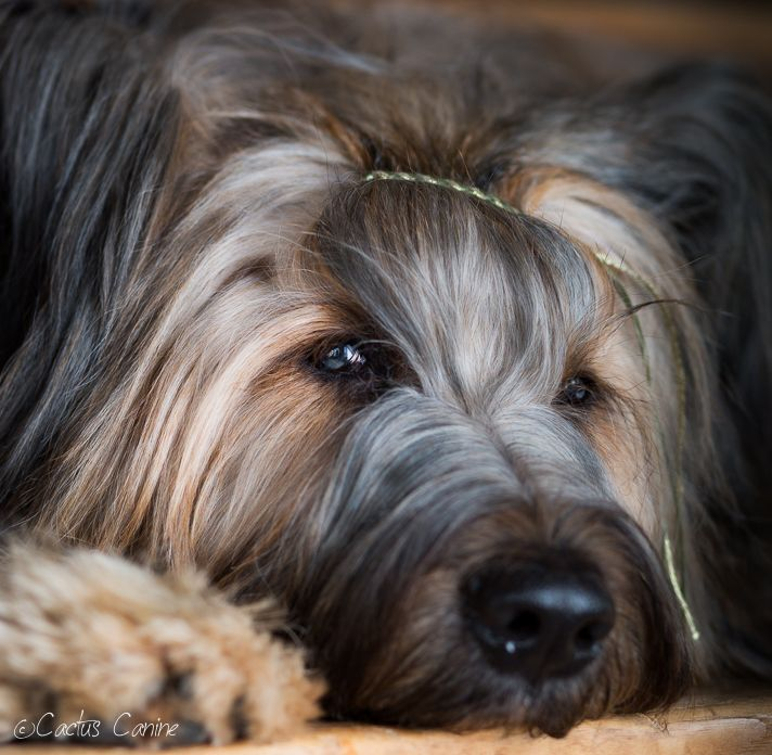 Briard. Simply Gorgeous.