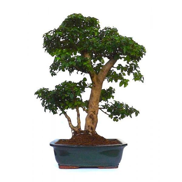 vente de bonsai ligustrum indon sien 65 cm 140101 sankaly bonsa vente achat de bonsa en. Black Bedroom Furniture Sets. Home Design Ideas