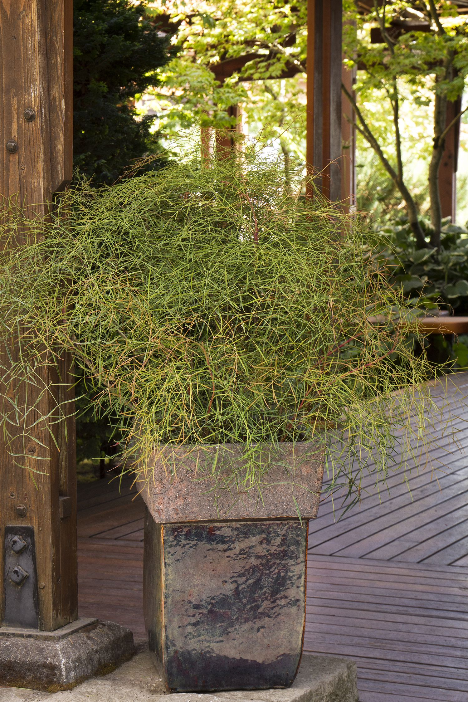 Chime heavenly bamboo monrovia chime heavenly bamboo for Container maison legislation