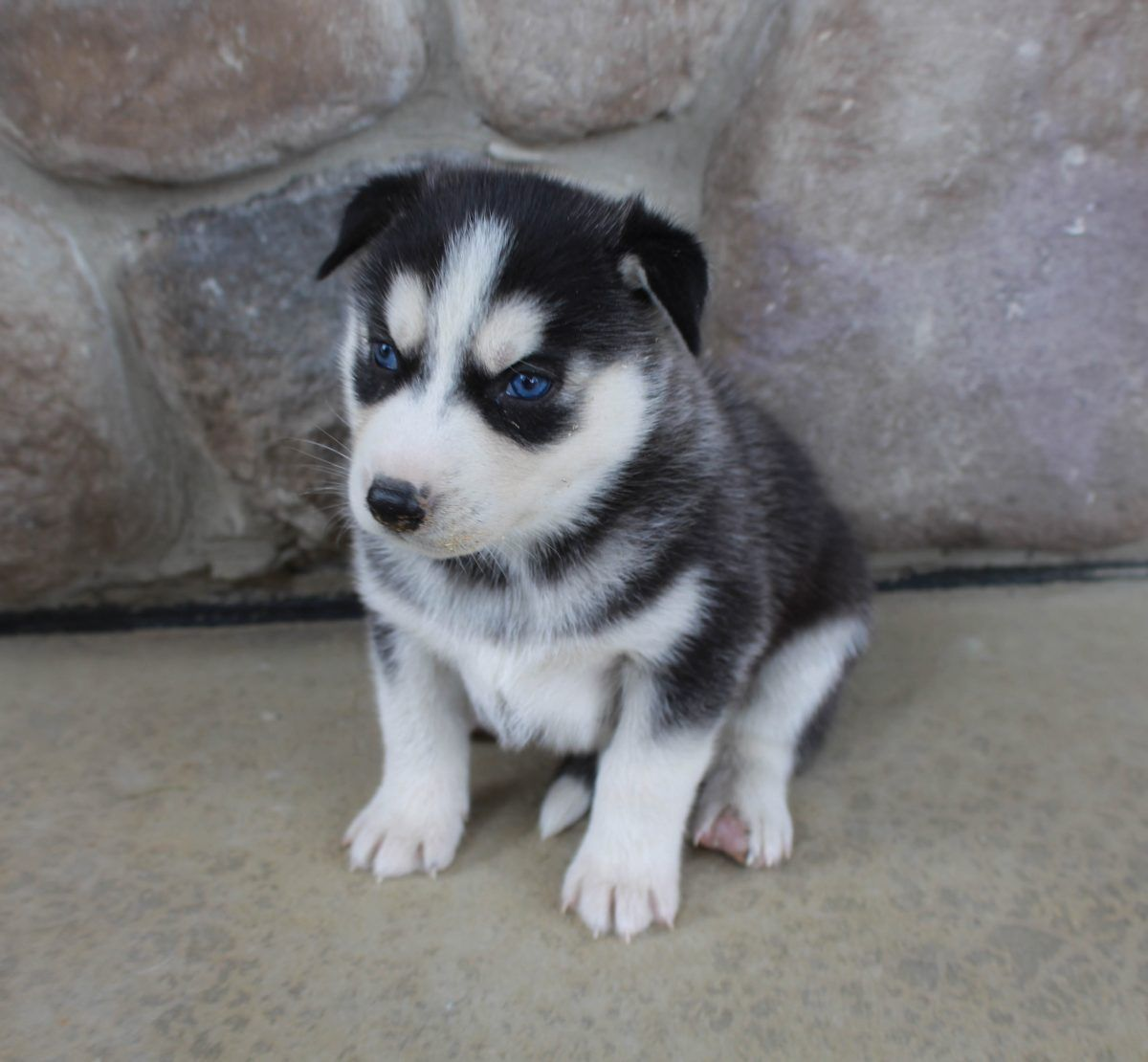 Kenneth Siberian Husky Pup For Sale Near Grabill Indiana