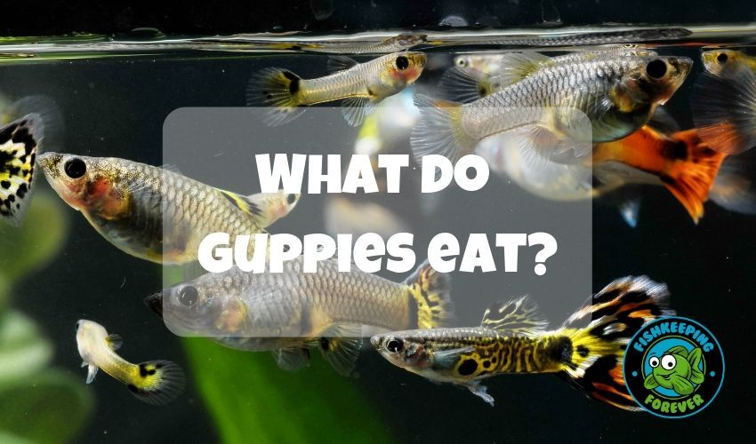 What Do Guppies Eat Guppy Guppy Fish Fish Care