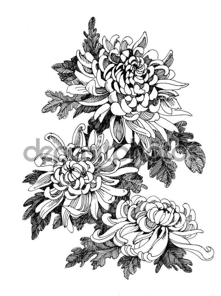Depositphotos 54511167 Stock Photo Hand Drawing Chrysanthemum Jpg 766 1024 Tatu S Pionami Narisovannyj Krasivye Tatuirovki