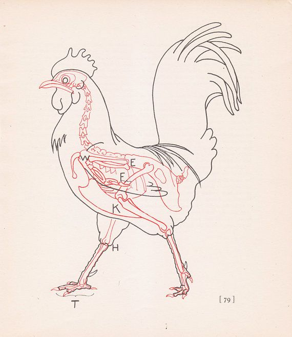Vintage Rooster Anatomy Print Chicken Bird Skeleton Color ...