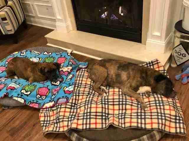 boxer rescue puppy mill pennsylvania