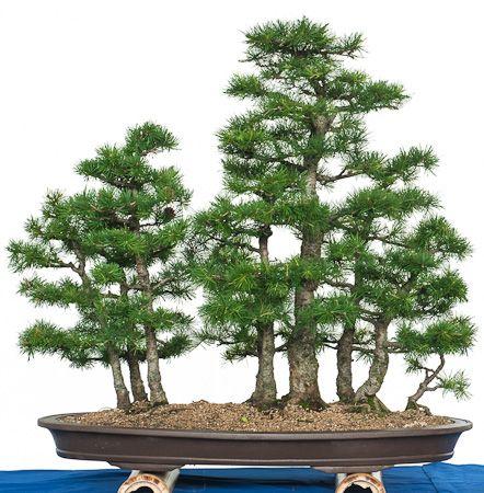 l rchenwald als bonsai garten bonsai in schale. Black Bedroom Furniture Sets. Home Design Ideas