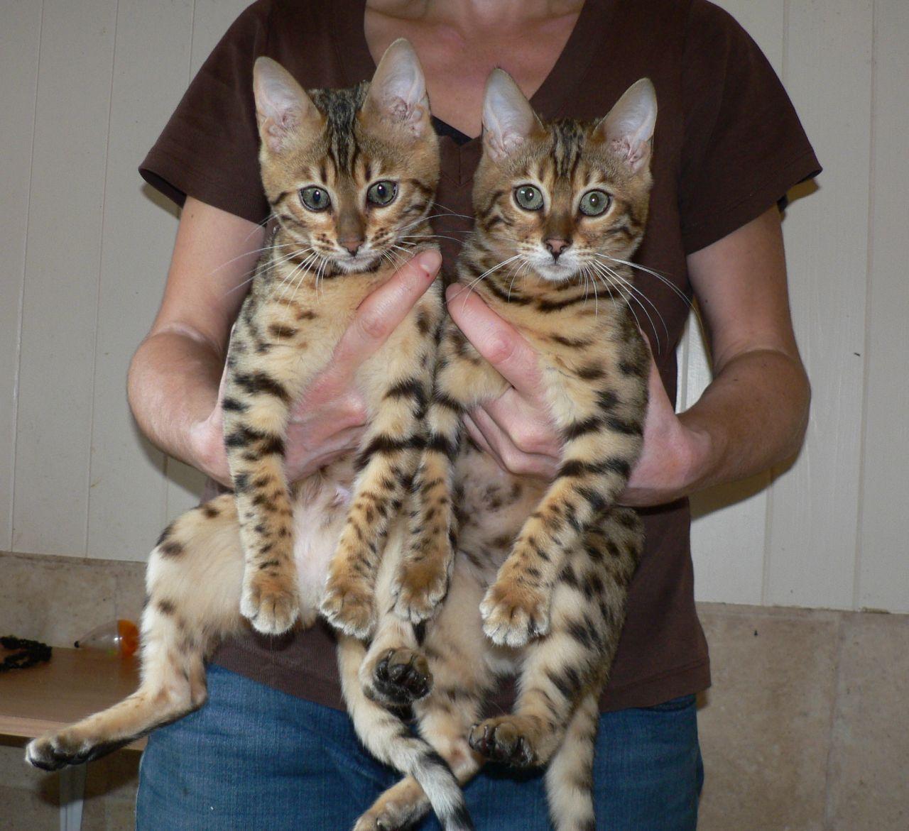 Bengal Cat Price Google Bengal Cat Price Bengal Cat Cats