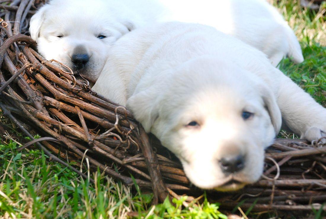 White Labrador Puppies White Labrador White Labrador Puppy Labrador Puppy