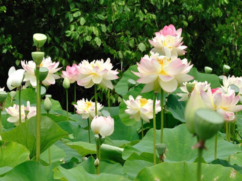 Lotus We Have Them For Sale Vnwg Lotus Pinterest Lotus