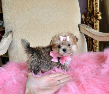 Peekapoo Puppy I Want Her Cute Baby Animals Pet Costumes Poodle Mix Dogs