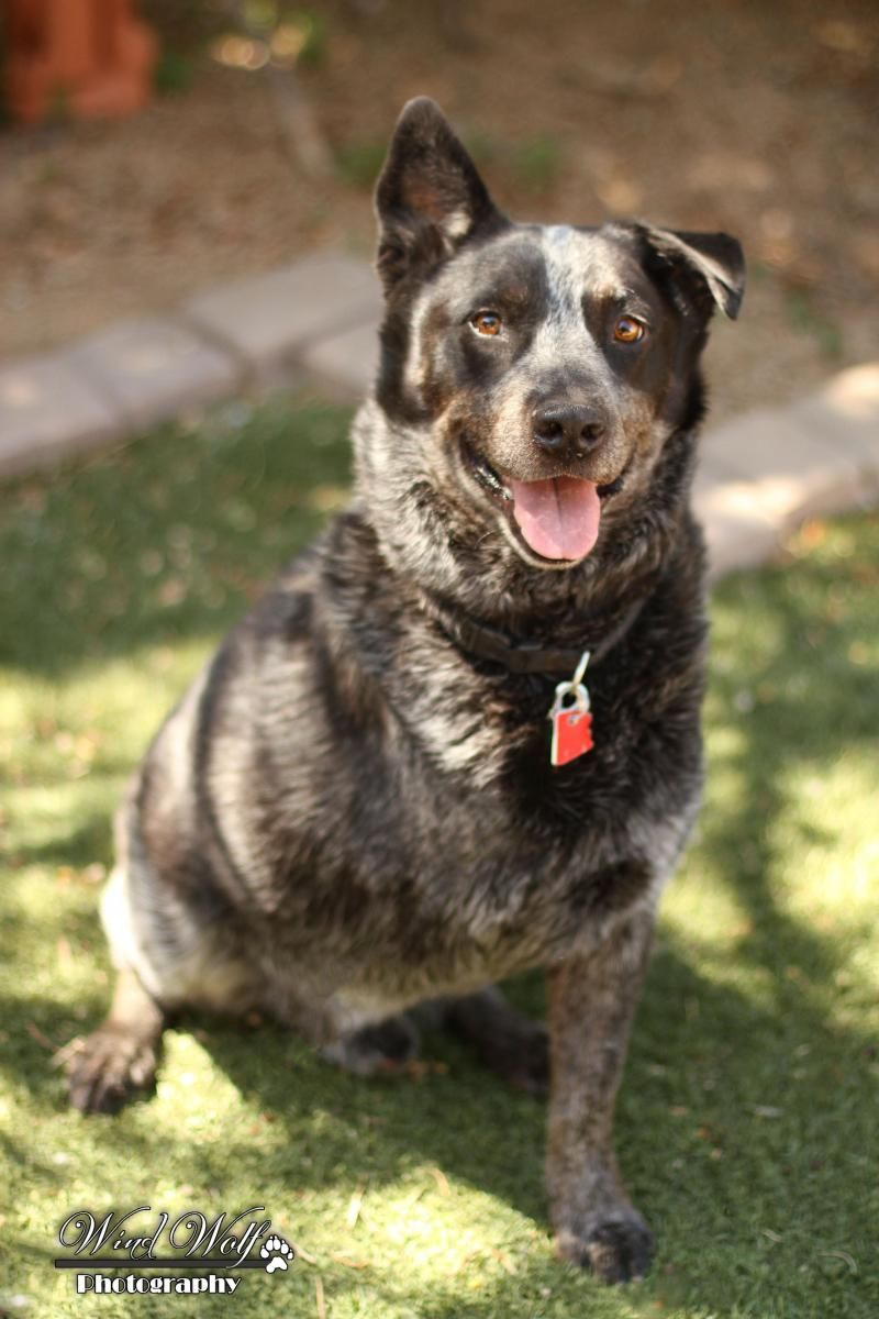 Adopt Bare Bones On Austrailian Cattle Dog Australian Cattle Dog Blue Heeler Australian Cattle Dog