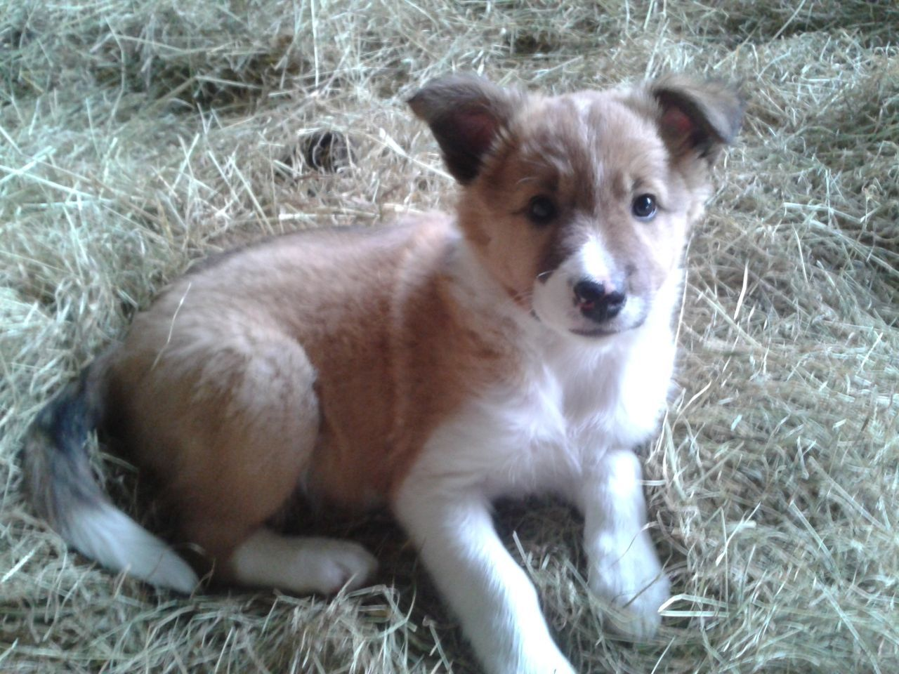 Red And White Welsh Sheepdog Puppy Girl Welsh Sheepdog Sheep