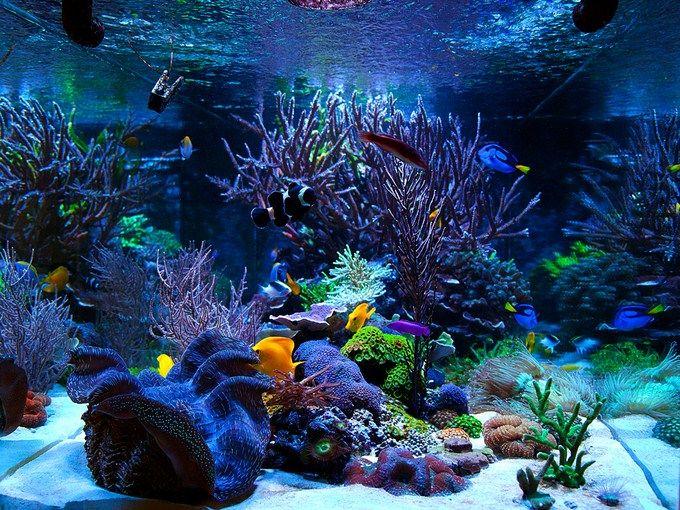 Maybe We Just Have A Weak Spot For Massive Reef Aquariums With Seemingly Even Larger Coral Colonies Aquarium Fish Tank Saltwater Fish Tanks Saltwater Aquarium