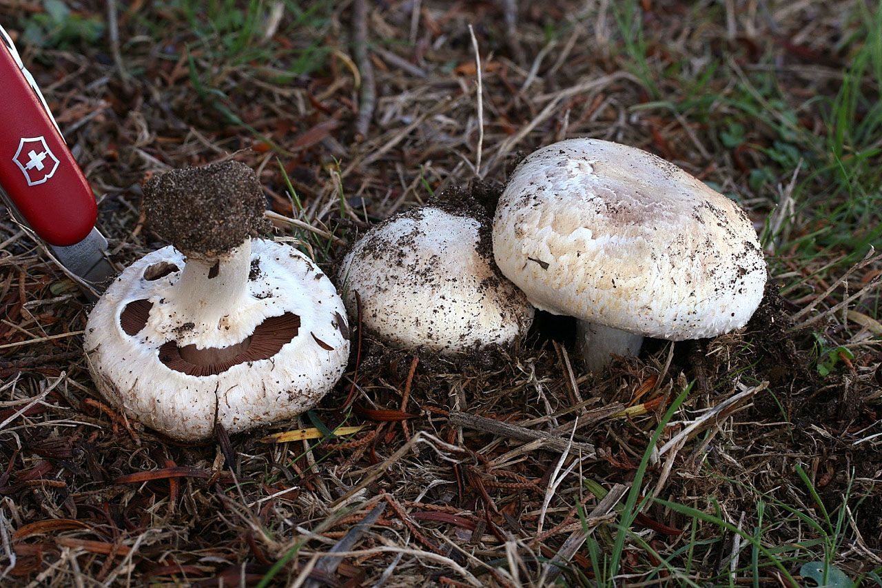agaricus bisporus common name button mushroom wild edible