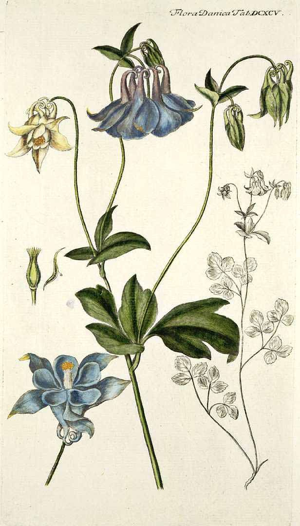 Aquilegia Vulgaris By G C Oeder Flora Danica Botanical Drawings Botanical Illustration Botanical Flowers