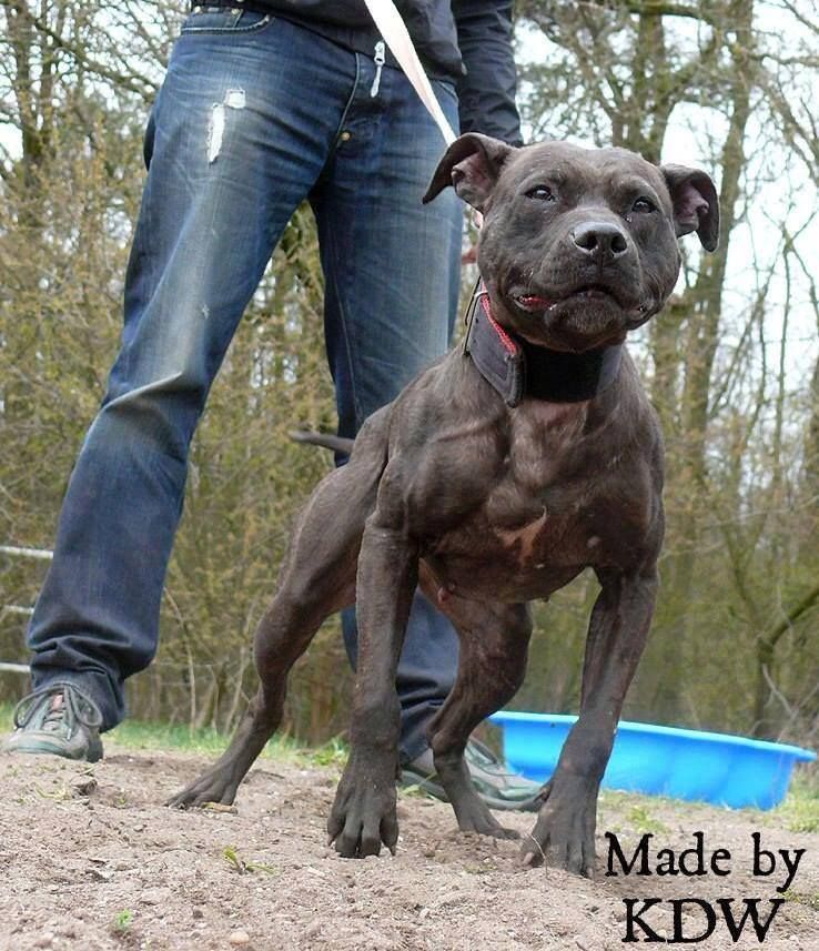 Pin On The American Pit Bull Terrier