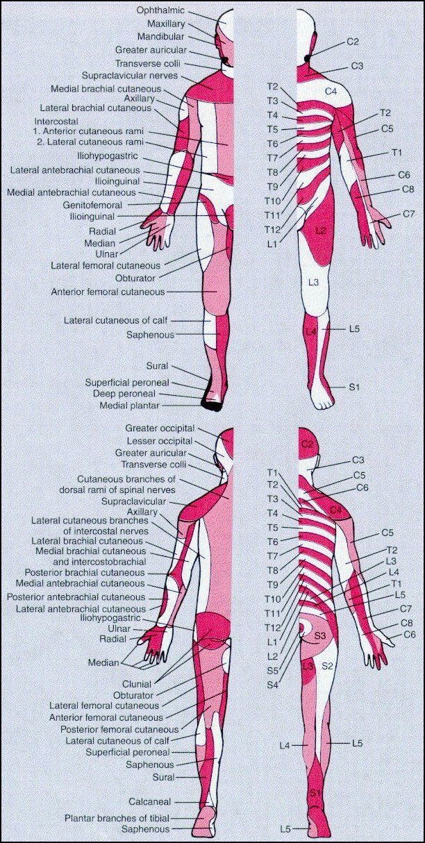 map of dermatomes and peripheral nerves | pt stuff | pinterest, Muscles