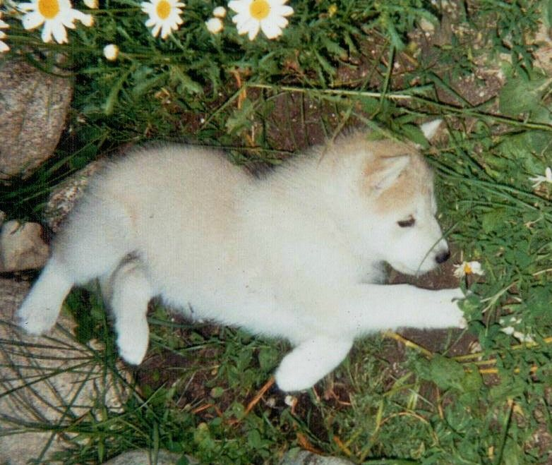 A Baby Wolf Baby Dogs Baby Wolf Baby Wolves