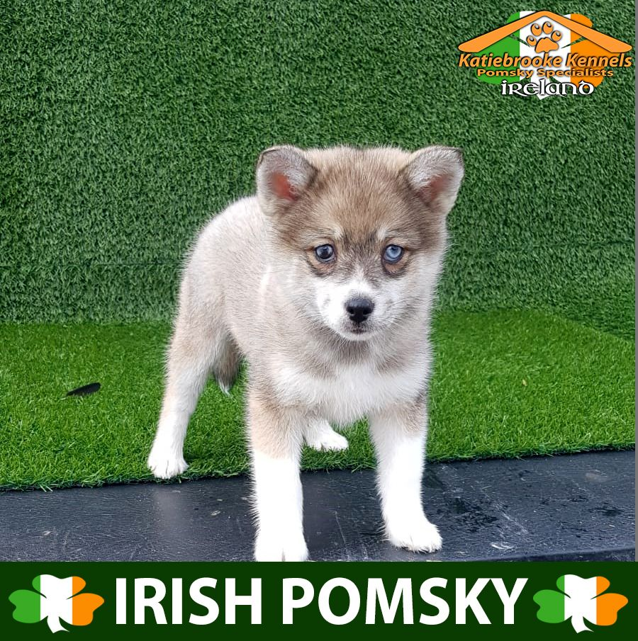 Katiebrooke Kennels Pomsky Specialists Ireland F1 Pomsky Puppy Joanna Parti Eyes X Pomsky Puppies Pomsky Pomsky Puppies For Sale