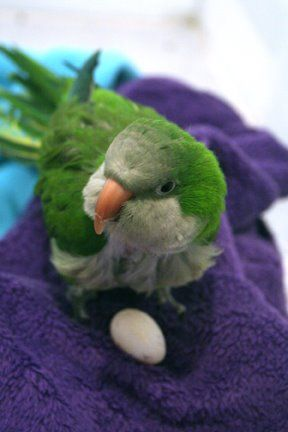 How To Discourage Your Companion Parrot Hen From Laying Eggs During Breeding Season Excellent Article With Information That Could S Egg Laying Parrot Quaker