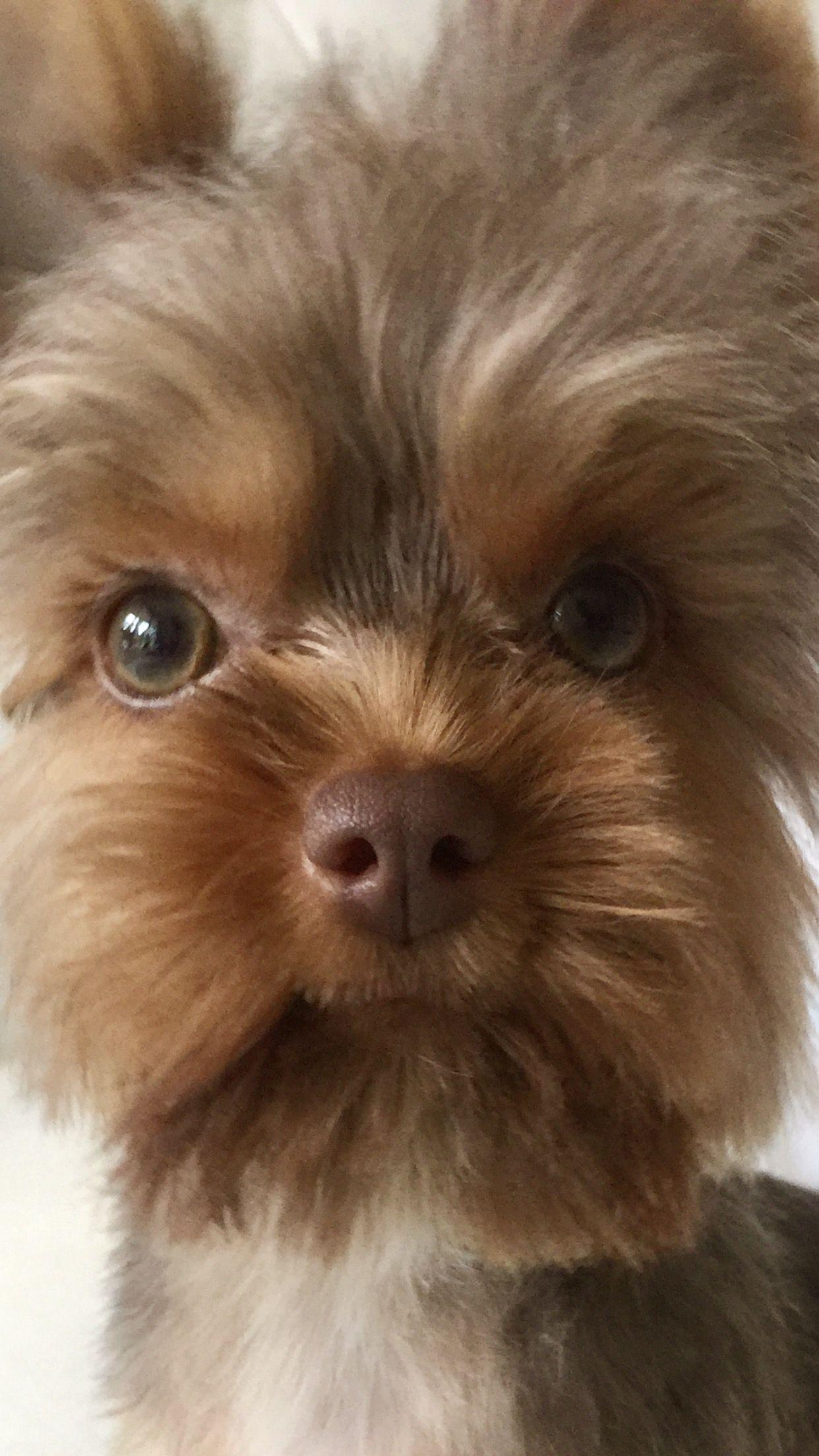 Chocolate Yorkie Green Eyes Biewer Yorkie Yorkshire Terrier Yorkie