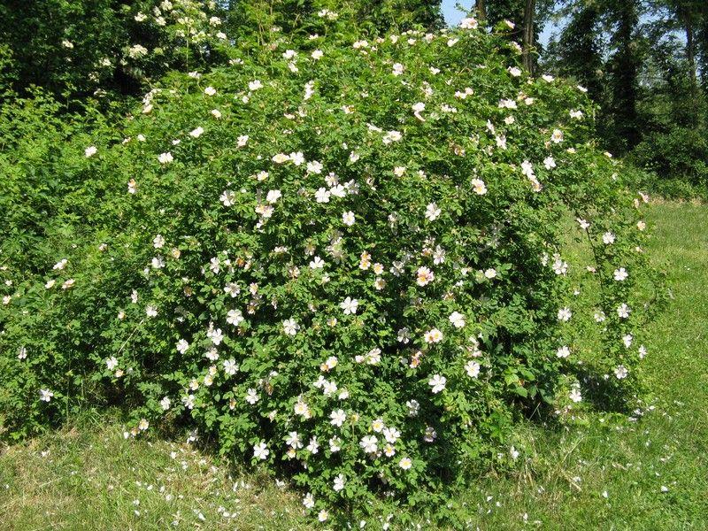 rosa canina pianta cerca con google architettura dei giardini pinterest. Black Bedroom Furniture Sets. Home Design Ideas