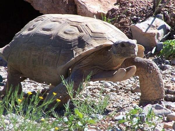 The Nevada State Reptile Is The Desert Tortoise Gopherus Agassizii Who Lives In The Extreme Southern Parts Of Nevada This Desert Tortoise Reno Tahoe Nevada
