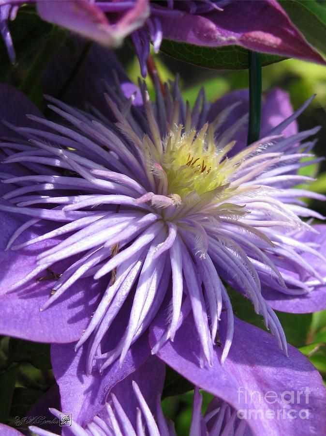 Double Clematis 'Crystal Fountain'