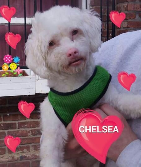 Adopt Chelsea Pink Nose On Petfinder Poodle Mix Dogs Poodle Mix Animal Sanctuary