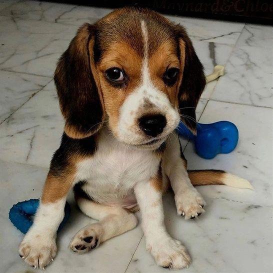Facts On The Happy Beagle Personality Beagleoftheday