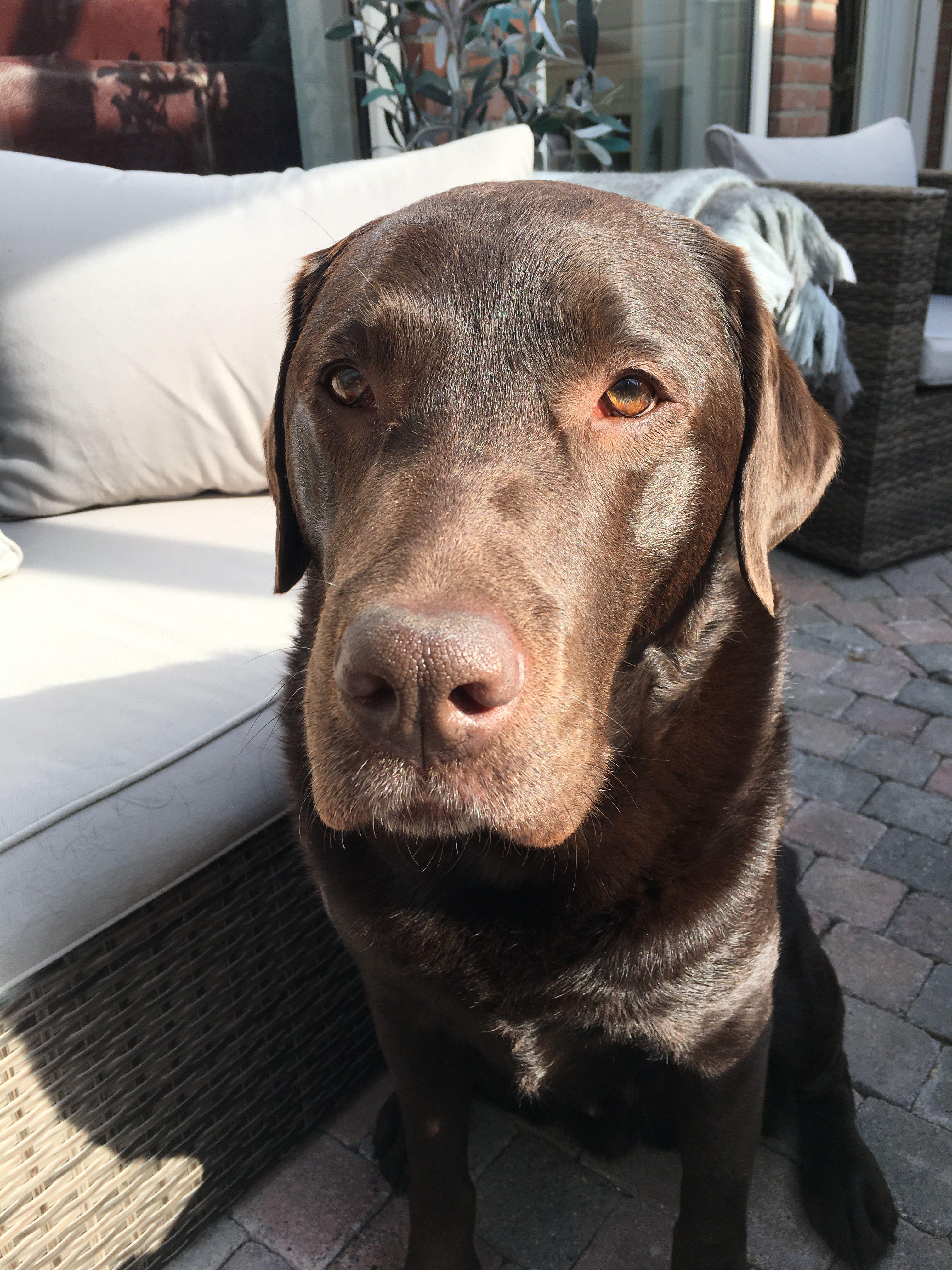 Sir Hunter Chocolate Labrador Retriever Labrador Dog Dogs