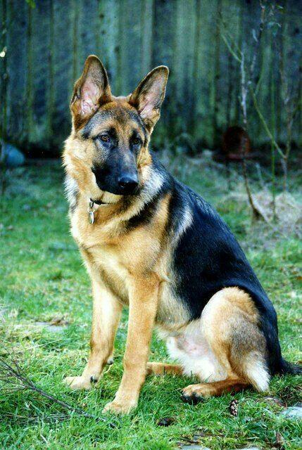 Pin By Melinda Johnson On Adventures Of Rocko Tobey Shepherd Dog Breeds German Shepherd Dogs German Shepherd Pictures
