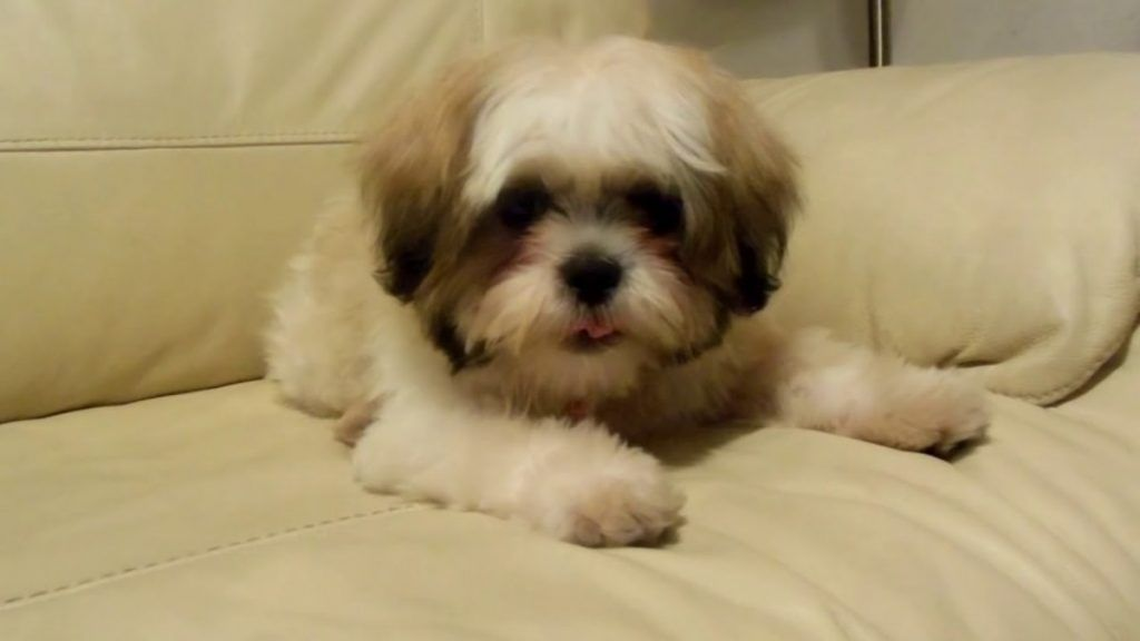 Cute Shih Tzu Puppy Barking Shih Tzu Puppy Puppy Barking Shih Tzu