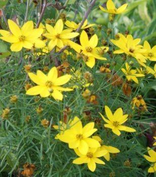 Nachylek Okolkowy Zagreb Coreopsis Verticilata Flowers Zagreb Plants