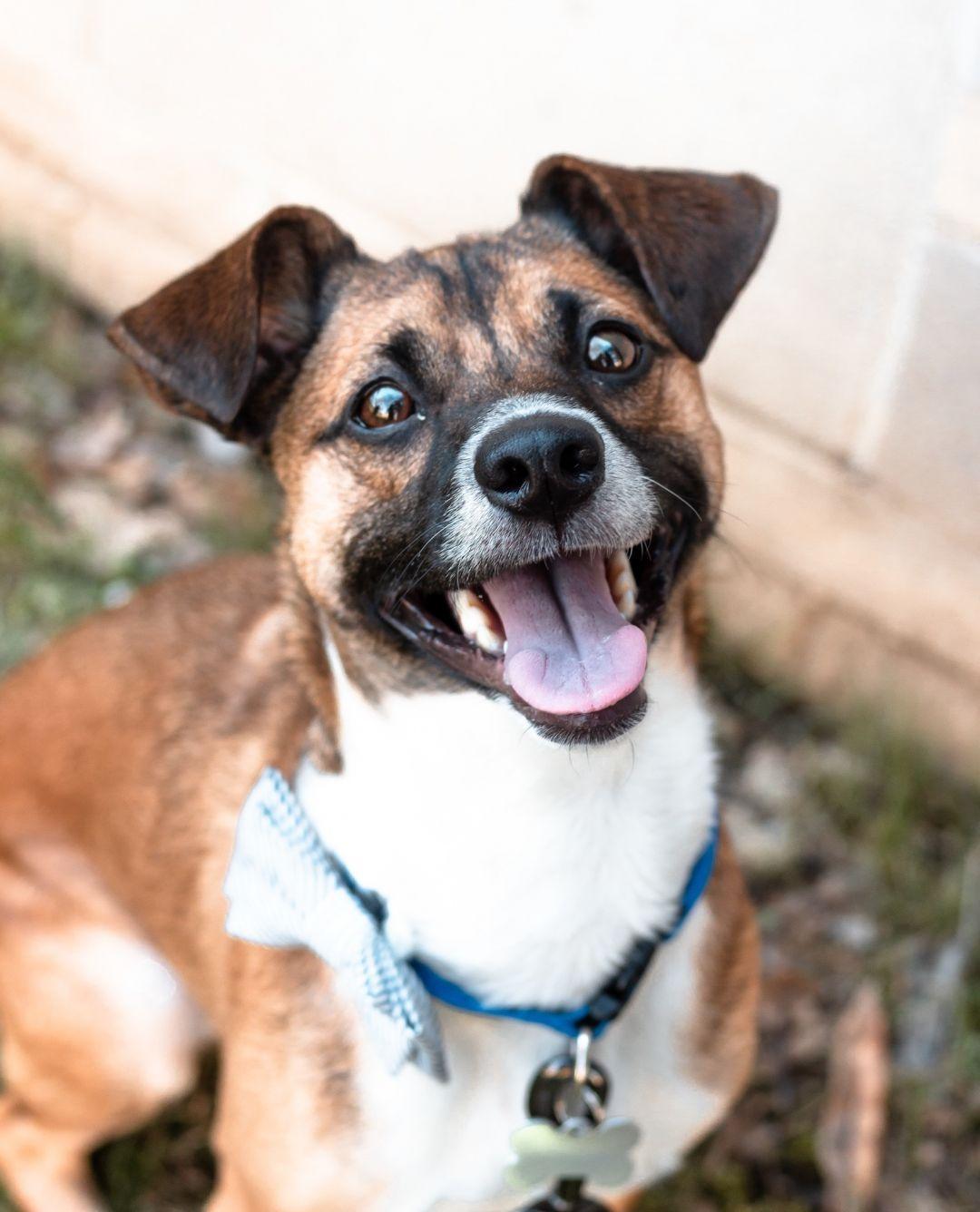 Adopt Spike on Best dog breeds, Dog breeds, Terrier mix