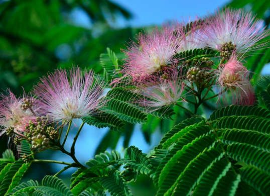 15 plants never to grow in your yard plants gardens and flowers mimosa tree the mimosa family of shrubbery and silk trees with their feathery fern mightylinksfo