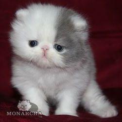 Persian Kitten Google Image Result for http://pers-breeders.cat-portal.org/_bd/0/91.jpg