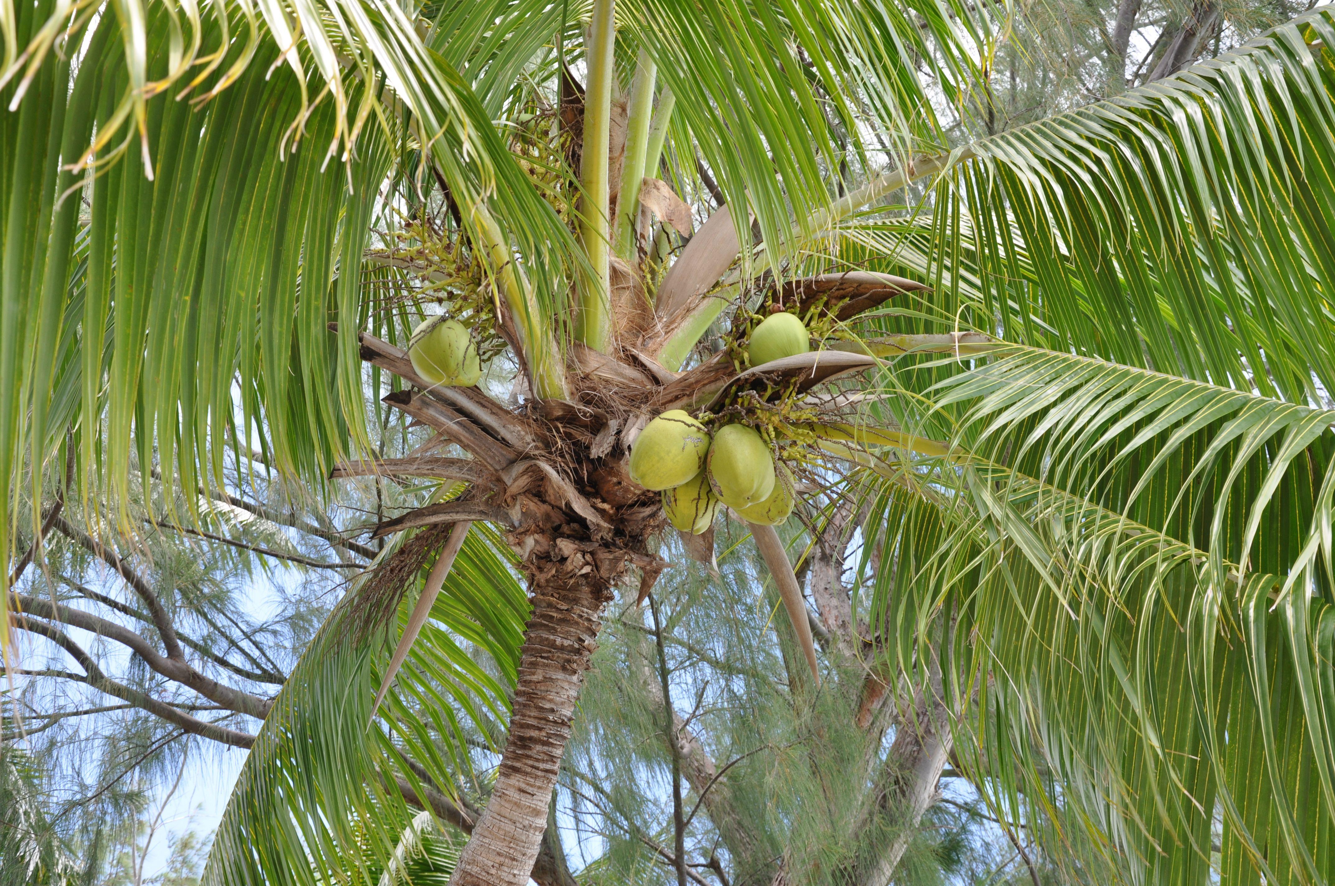 Bora bora bora bora coconut fruit