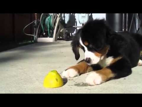 Puppy vs Lemon...