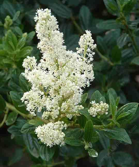 Ceanothus snowflurry has a white flower on a medium size dark green ceanothus snowflurry has a white flower on a medium size dark green bush mightylinksfo Images