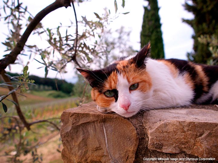 イタリア   ネコギャラリー   デジタル岩合 動物写真家・岩合光昭氏 公認サイト