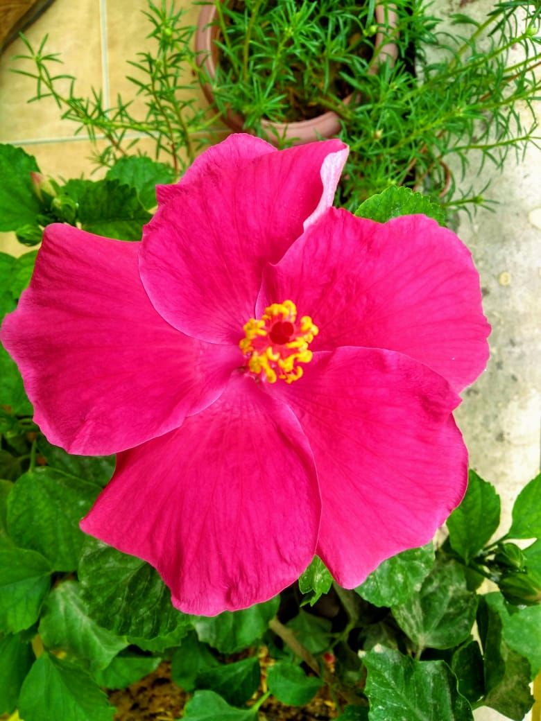 My Hibiscus Flower Blooming On A Rainy Day Hibiscus Flowers Flowers Hibiscus