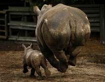 Malá nosorožčí slečna Geraldine trénuje běh se svou matkou Claudií.