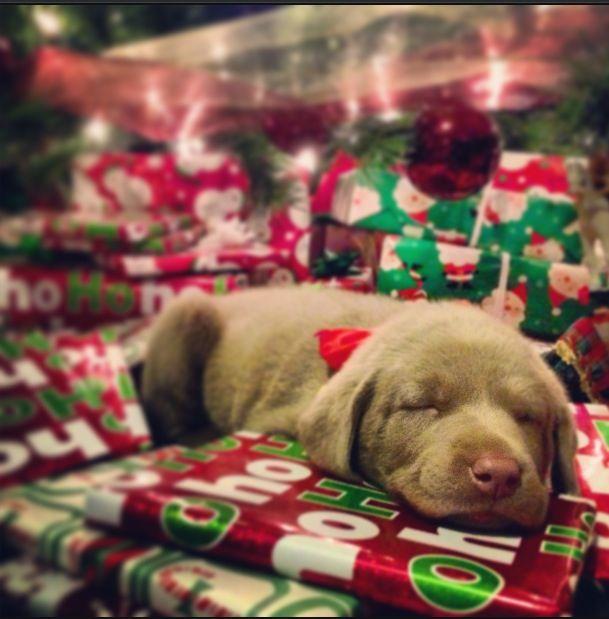 Silver Lab Puppies :) LOVE!!